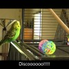 Talking Parakeet
