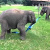 Happiest Elephant Plays with Ribbon