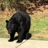 Obedient Bear