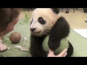 Baby panda loves ball