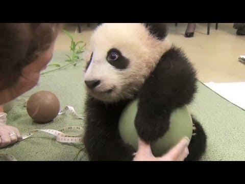 Baby panda loves ball