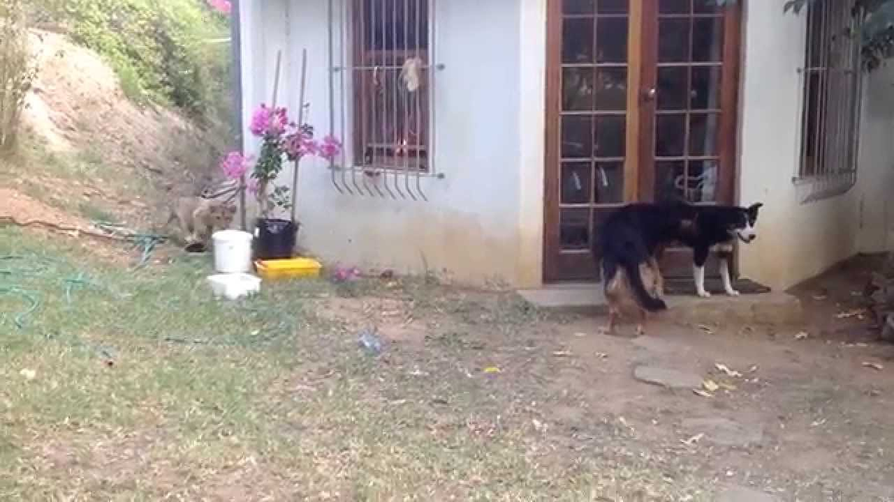 Sneaking Lion Cub Scares Dog