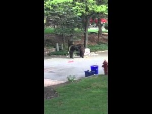 Bears fight over trash