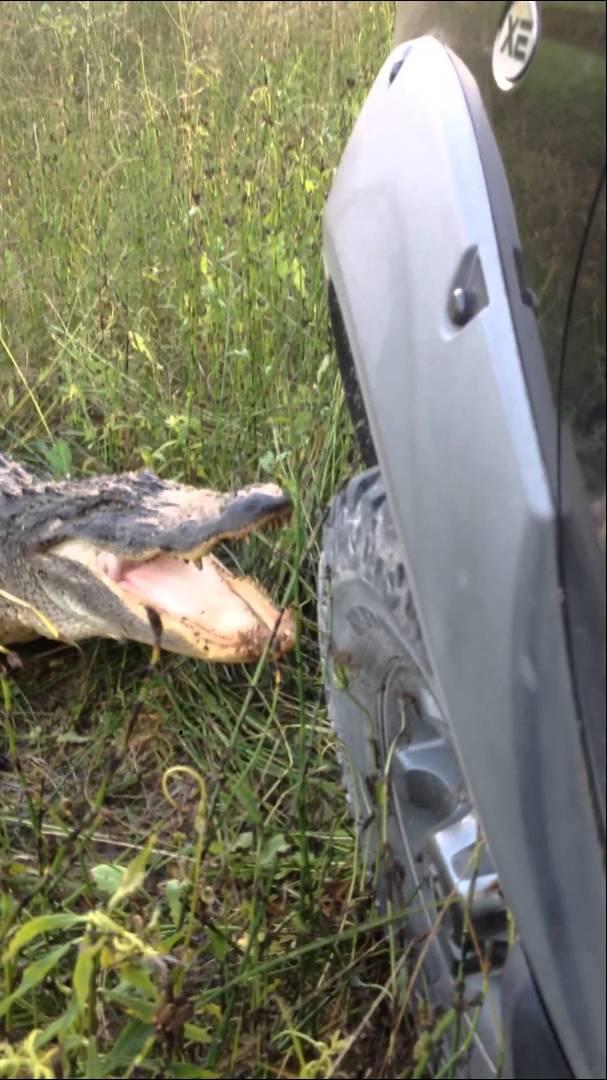 Gator vs Truck