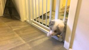 Puppy defies baby gate