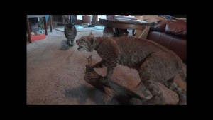 Cat detectives don't like stuffed Bobcat