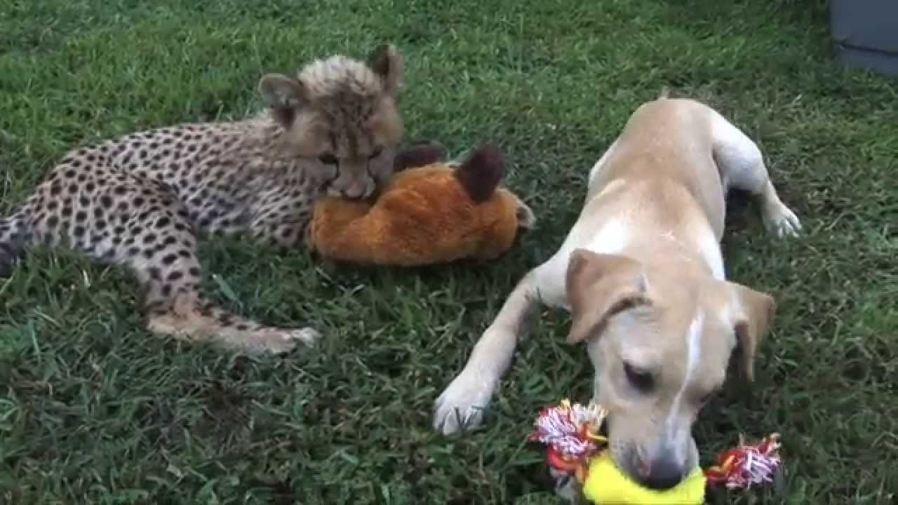 Cheetah Cub & Puppy Friendship