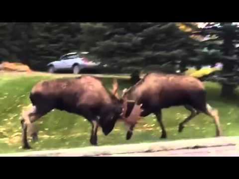Epic Moose fight in Alaska