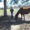 Foal Knocks Himself Over