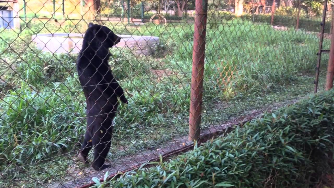 Bear Walks Like A Human
