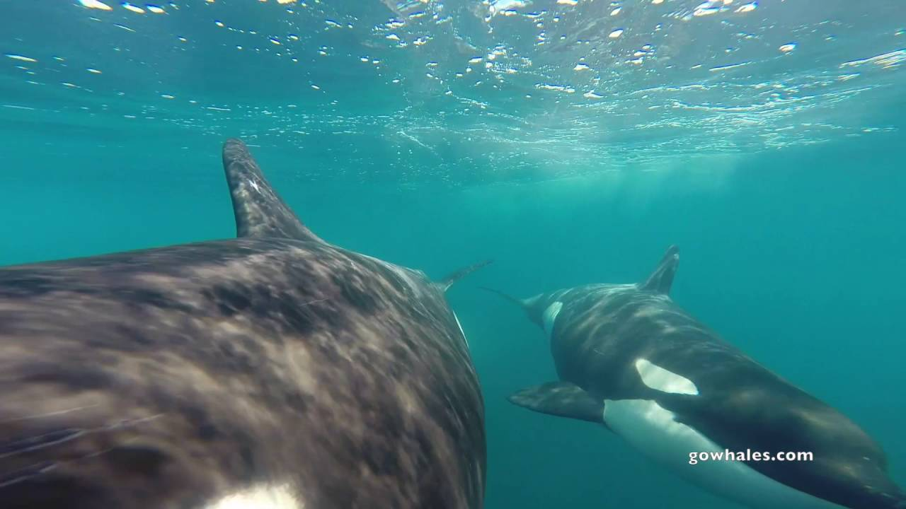 Killer Whales investigating the GoPro