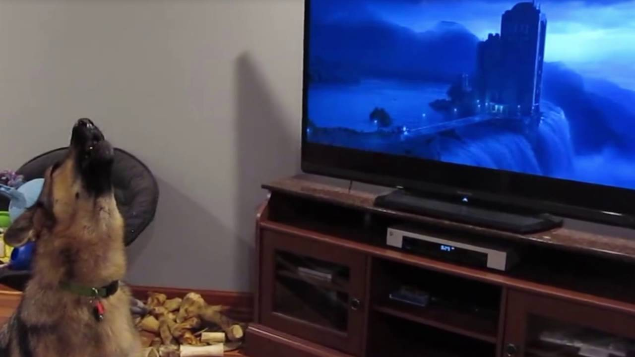 German Shepherd loves Zootopia