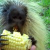 Teddy the Porcupine doesn't like to share