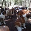 38 Saint Bernards wander a forest