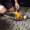 This Macaw was most definitely a doggy in his past life