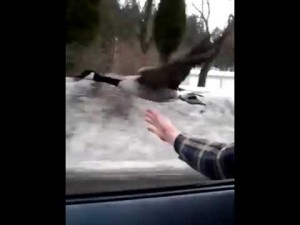When you're cruising down the highway and then, suddenly, goose